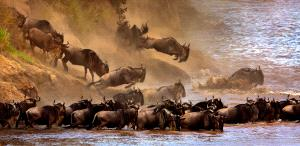 SIHIPC Gold Medal - Sergey Agapov (Russian Federation) <br /> Great Migration Of Wildebeest 2