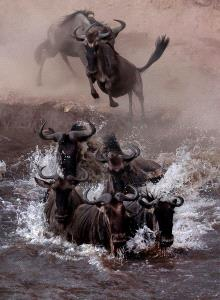PSA HM Ribbons - Sergey Agapov (Russian Federation)  Great Migration Of Wildebeest