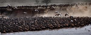 PhotoVivo Honor Mention - Shihong Wang (China) <br /> Herds Of Wildebeest